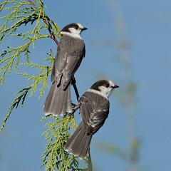 Gray Jays (nickinthegarden) Tags: canada bc westvancouver whiskeyjacks grayjays cypressmountainpark