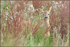 Roe Deer (image 2 of 3) (Full Moon Images) Tags: nature animal mammal nt wildlife reserve doe deer fawn national trust fen roe cambridgeshire burwell wicken