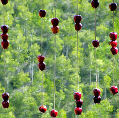 It's Raining Apples! Hallelujah! (Helena de Riquer) Tags: pomes manzanas apples apple pommes pins pines pinos bosc bosque anoia rubió provinciadebarcelona masia restaurant restaurante helenaderiquer 2010 canalzina nationalgeographic sonydsch20 sony carlzeiss lonelyplanet 100faves dof many flickr