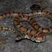Lampropeltis triangulum (Milk Snake)