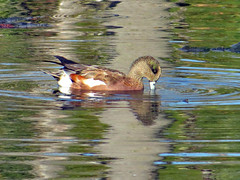 American Widgeon_male (Birdman of Beaverton) Tags: oregon duck widgeon sx50