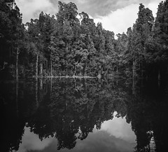 Reflection (gomezthecosmonaut) Tags: newzealand bw reflection film largeformat fujiprovia100 nativeforest toyoview45g waihoralagoon schneiderkreuznachsupersymmarhm120mmf56