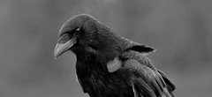 Crow (standhisround) Tags: bw bird nature mono crow corvidae