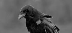 Crow (standhisround) Tags: bw bird nature mono crow corvidae