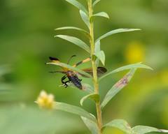 Banded Net-Winged Beetle (mcnod) Tags: beetle september 2014 calopteronreticulatum netwingedbeetle mcnod bwibiketrail bandednetwinged