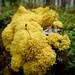 Fuligo septica - Gelbe Lohblüte