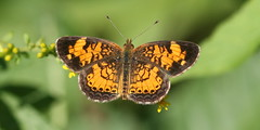 Pearl Crescent, Great Swamp NWR (Vince Capp) Tags: