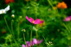 Garden Cosmos ~ Michigan (j van cise photos) Tags: flower garden blossom michigan bloom cosmos afsdxzoomnikkor18135mmf3556gifed continentalunitedstates nikond7100
