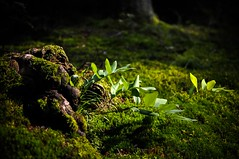 solomon's seal (jazzwink) Tags: wood light shadow fern forest seal shade stump solomons