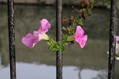 IMG_0536_Petunia (Julecu) Tags: flowers nature riverside sunny september petunia