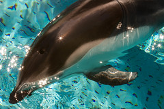 Sparkles (shashin62) Tags: canada water vancouver mammal aquarium shiny dolphin sparkle stanleypark