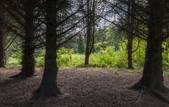 Sitkagran (Picea sitchensis) i Arboretet
