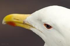 Seagull (Flaquivurus) Tags: chile eye nature animal nikon seagull gull beak d5100