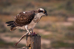Having its supper (JoLoLog) Tags: canada bird dorothy joe alberta birdofprey reddeerriver thebadlands juvenileosprey drumhellervalley canonxsi ospreyfeeding
