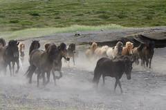 Iceland - wild horses (emydelema) Tags: horses animals iceland islandia wildhorses