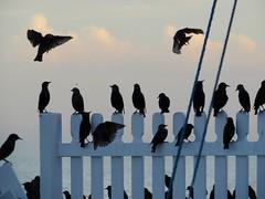 September Starlings 1 (baxter.ad) Tags: