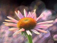 Echinacea (Explored) (Visions of Rapture) Tags: