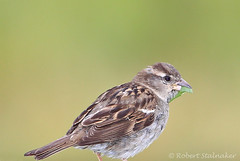 House Sparrow (Passer domesticus) (Robert Stalnaker) Tags: ohio bird nature florida wildlife orangecounty passerdomesticus passer hosp passeriformes passeridae robertstalnaker