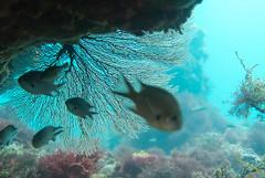 DSC_8411.jpg (d3_plus) Tags: sea sky fish beach coral japan scenery diving snorkeling  shizuoka   j1  izu  damsel softcoral    skindiving  seafun  minamiizu       nikon1 hirizo   nakagi nikon1j1 1nikkor185mmf18  beachhirizo commoncoral misakafishingport