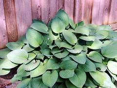 Green Leaves (knightbefore_99) Tags: street wood city sun plant canada green art sol leaves vancouver fence flora bc vert sidewalk eastvan