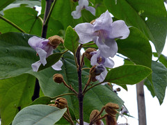 Paulownia elongata S.Y. Hu 1959 (PAULOWNIACEAE) (helicongus) Tags: spain scrophulariaceae paulownia paulowniaceae paulowniaelongata jardínbotñánicodeiturraran