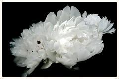 White Feathers (Sergei P. Zubkov) Tags: flowers white july peony 2014 terijoki