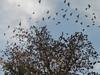 SAM_0391 (olgamafimbresmrls) Tags: sonora aves migración parvada hermosillo chororó pechoamarillochico
