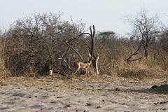 Traffic (Zsuzsa Por) Tags: africa wildlife botswana makgadikgadi wildlifeafrica canonistas canoneos7d canonef70200mmf28lisusmii