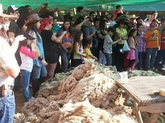 20131013_173429 (Rincn del Aguila) Tags: costumbres chilenas esquila tipicas