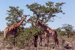 Haut trio (trekmaniac-is-back) Tags: 1998 animaux girafe diapo namibie