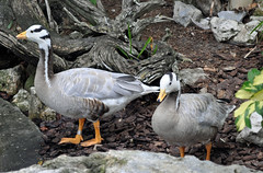 More from Busch gardens.... (littlestschnauzer) Tags: park summer usa white holiday black nature birds animals gardens bar tampa grey geese nikon florida feathers parks august goose theme busch headed 2014 d5000