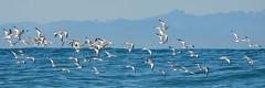 Flock of Sabine's Gulls (ajblake05) Tags: ocean canada birds animals inflight britishcolumbia vancouverisland tofino northamerica vertebrates laridae vertebrata sabinesgull xemasabini pelagiczone gallery141013 clayoquotcanyon