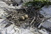 Double-crested Cormorant Eggs