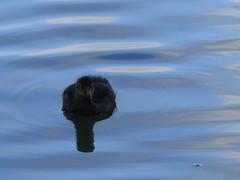 Cute Coot (jefrs) Tags: england bird birds coot newbury wildfowl 100300 gh4