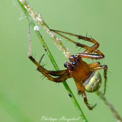 ? name ? spider 20140927_45614 (phhoog) Tags: spider nigeria arthropoda araigne arachnida crossriver calabar
