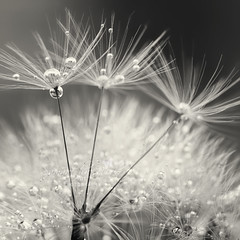 Mono Bobbles! (Samantha Nicol Art Photography) Tags: white black macro water reflections square mono droplets dandelion samantha nicol