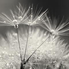 Mono Bobbles! (Samantha Nicol Art Photography) Tags: white black macro water reflections square mono droplets dandelion samantha nicol