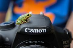 Jeder mag Canon - Everybody likes Canon (David Bertuleit) Tags: camera canon frog frosch treefrog kamera laubfrosch