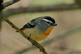 Spotted Pardalote (Male)