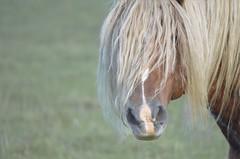 (chris2116) Tags: horse stallion equine mane haflinger