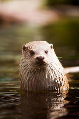 Otter (Cloudtail) Tags: animal mammal otter tier pforzheim wildpark sugetier fischotter lutra