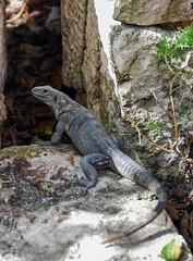 Mexico lizard (denis.senkov) Tags: trip travel mexico lizard chichenitza
