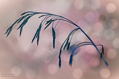 Just a Stalk of Field Grass (PhotoArtMarie) Tags: grass stalk pink blue creativeedit