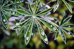 Lupine Leaves (Nathan Wickstrum) Tags: santa monica mountains rancho sierra vista lupine leaves water droplets