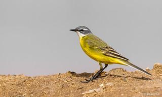 Alvéola-amarela | Western Yellow Wagtail | Lavandera boyera | Bergeronnette printanière (Motacilla flava)