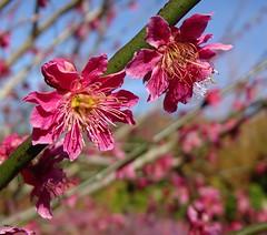 Japanese apricot bloom (Kniphofia) Tags: rhs harlowcarr japaneseapricot pink blossom benichidori