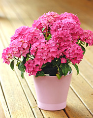 Hydrangeas on terrace (Julia_Kul) Tags: closeup isolated blooming decoration soft natural potted green floral white spring pot petal flower leaf hortensia summer pastel blossom bloom hydrangea elegant planter arrangement pink flora purple decorative garden bouquet color close blue colorful plant beauty romantic bunch wooden beautiful background fresh nature vase macrophylla