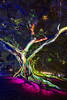 Vivid Festival 2016 - Botanic Gardens precinct (placesandfoods.com) Tags: vs2016 vsrbg2016 billboard vividsydney sydney artandculture eventsandfestivals events royalbotanicgarden parks annawarr nature figtree tree nsw australia