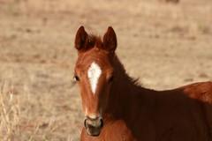 ღ (It Feels Like Rain) Tags: 2017foals 2017fillies filly americanquarterhorseassociation aqha westtexas westtexasranches ranch ranching ranches horse caballo cheval wrapped