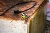 Mésange bleue (Ath Salem) Tags: bird oiseau mésangebleue mésange bluetit tit cyanistescaeruleus nature nikond5200 algérie faunealgérienne alionín طير passereau طبيعة